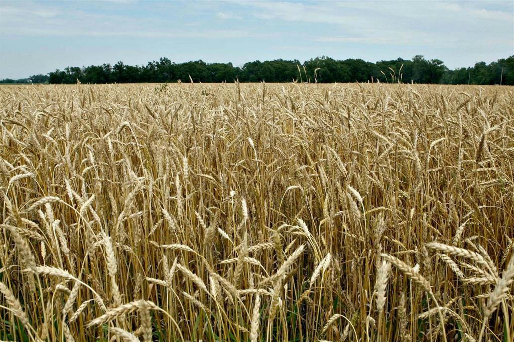 Aconsejan tomar coberturas de precios para el trigo 2018/2019